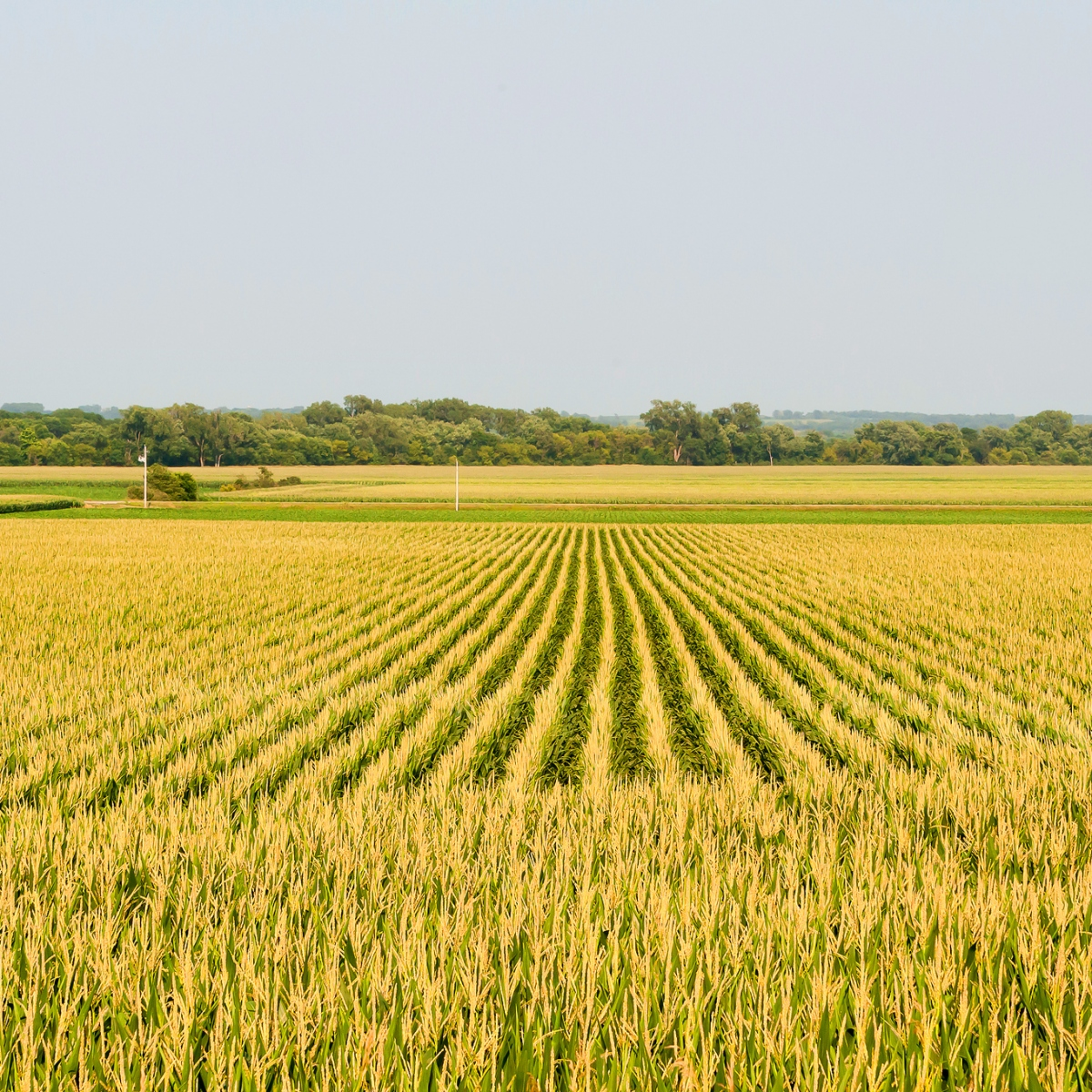 an overview of the genetically modified corn
