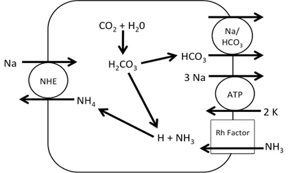 Figure 2. Working Model of Na+ absorption. NH3 is taken into the cell via Rh factor proteins where it combines with H+ from carbonic acid in the cell making NH4+. The NH4+ is used to in place of H+ in NHE allowing Na+ uptake into the cell.