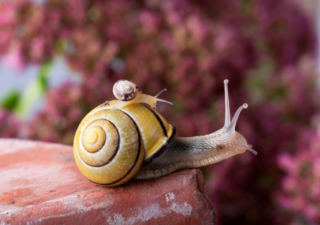 Mojave Shoulderband Snail