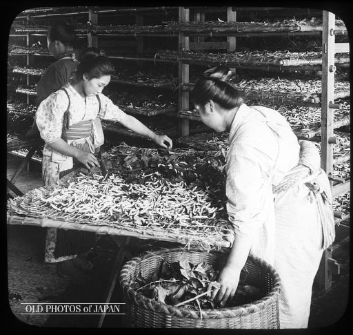 Japanese women feeding silk worms